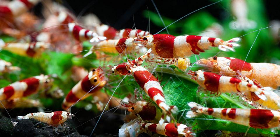 Die rot-weiß gestreiften Bienengarnelen zeigen die  faszinierende Vielfalt dieser Tierart.